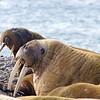 Walruses, Forlandsunden, Svalbard June 2014