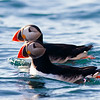 Atlantic Puffins, Svalbard June 2014