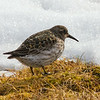 Purple Sandpiper, Svalbard June 2014