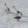 Glaucous Gulls, Svalbard June 2014