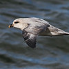 Northern Fulmar, Longyearbyen, Svalbard June 2014