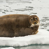 Bearded Seal, Svalbard June 2014