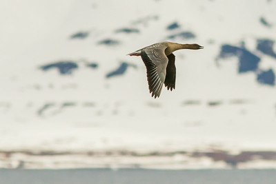 Pink-footed Goose, Svalbard June 2014