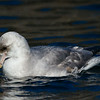 Northern Fulmar,  Svalbard June 2014