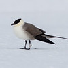 Long-tailed Skua (Jaeger), Ny-Ålesund, Svalbard June 2014