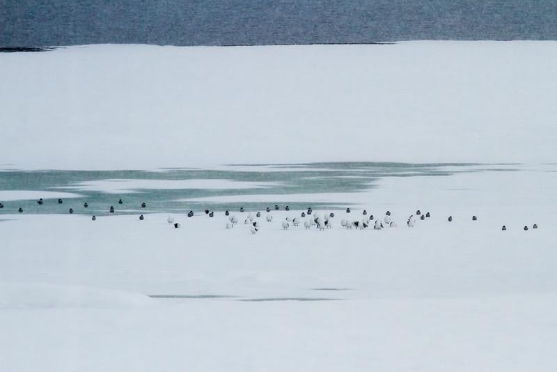 Black-legged Kittiwakes and Arctic Terns, Ny-Ålesund, Svalbard June 2014