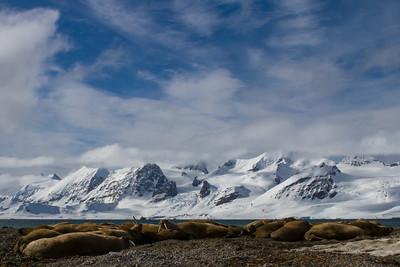Walrus bachelor group, Forlandsunden, Svalbard June 2014