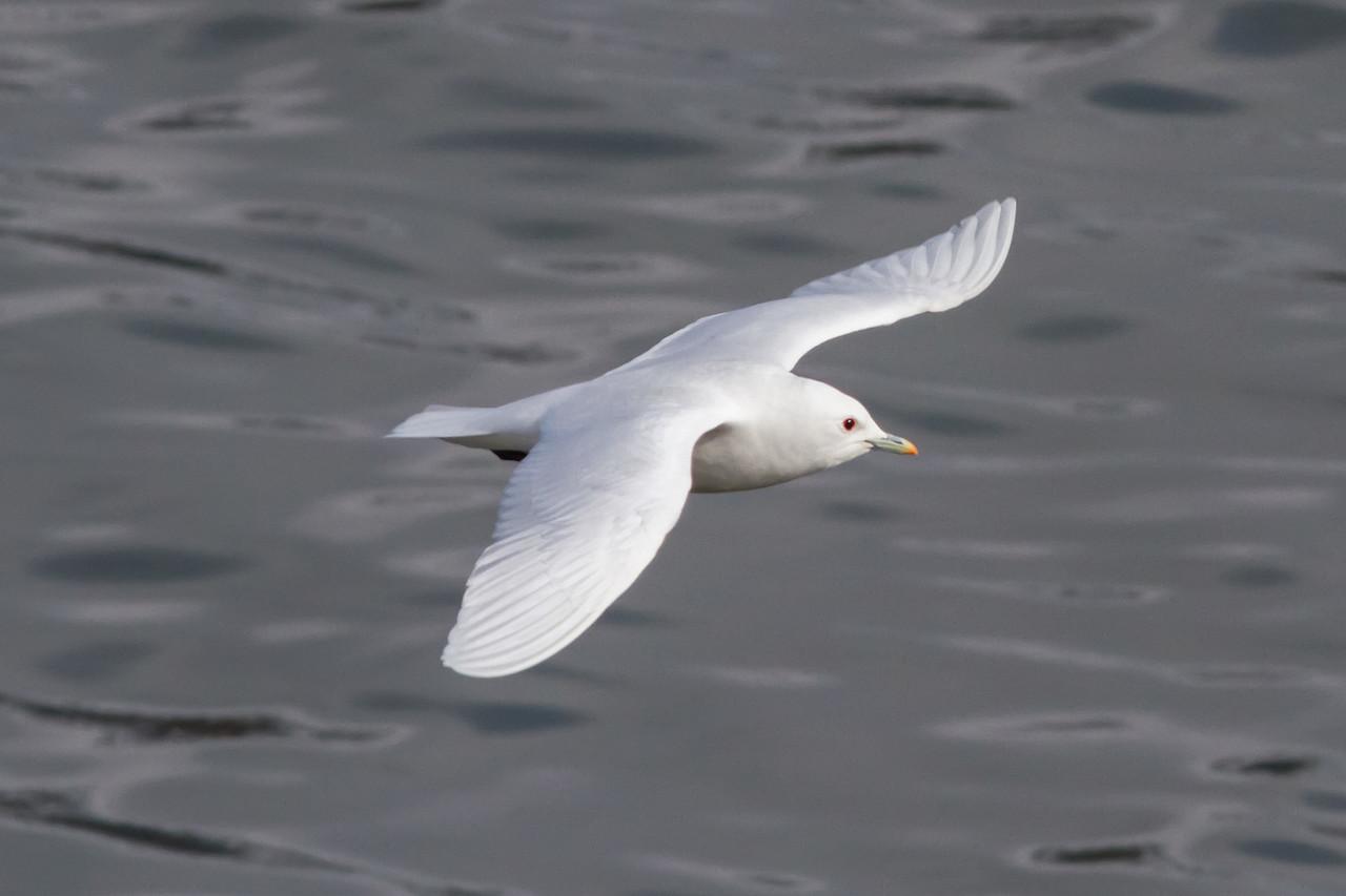 Ivory Gull, Longyearbyen, Svalbard June 2014