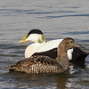 Common Eiders, Longyearbyen, Svalbard June 2014