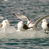 Black-legged Kittiwakes, Svalbard June 2014