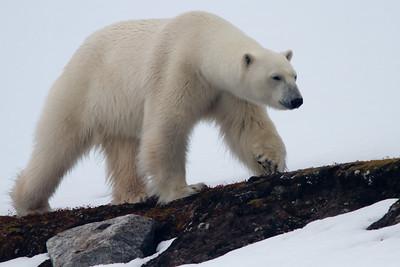 Polar Bear, Svalbard June 2014