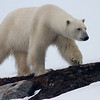 Polar Bear, Svalbard June 2014