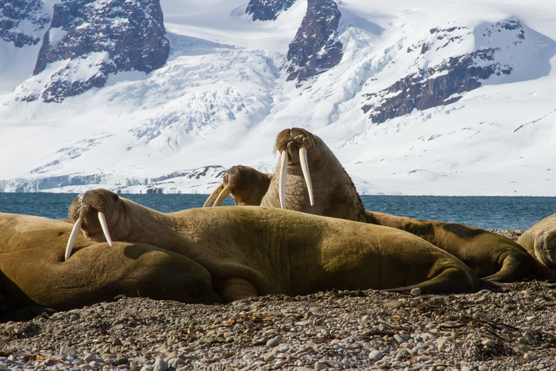 Walrus bachelor group, Forlandsunden, Svalbard June 2014