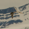 Black-legged Kittiwake attacking a Northern Fulmar, Svalbard June 2014