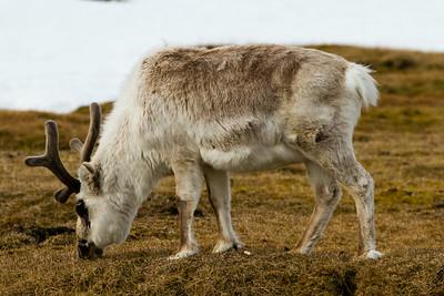 Svalbard Reindeer, Svalbard June 2014