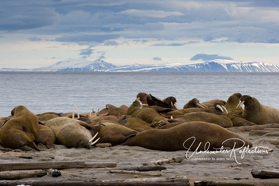Walrus hauled out on beach
