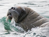 Walrus - they use whiskers to feel along seabeds for mollusks, their primary food.
