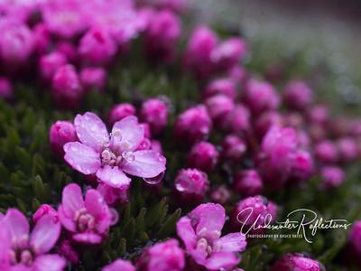 Moss Campion (Silene acaulis),