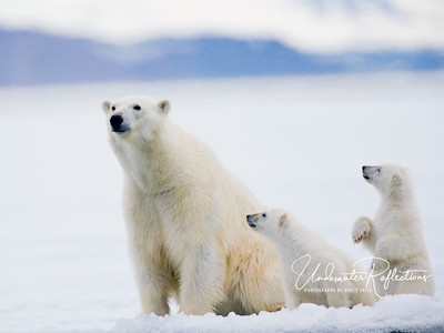 """Mommm? What do we do now?""  This was our favorite shot of the trip, due in large part to the standing cub's implied message.    Photos in this gallery were taken with three Canon DSLR cameras: 1Ds Mark II, 1D Mark II-N, and 20D.  Polar bear photos were taken with long lenses from bobbing zodiaks, so very high shutter speeds were necessary to try to freeze the action."