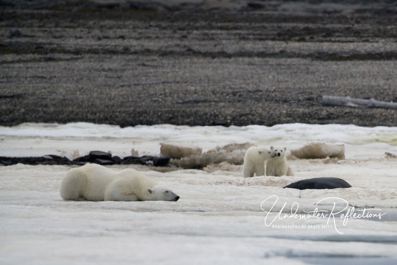"""While the mother """"still hunts"""" (lying motionless at a seal breathing hole), cubs know they are to sit silently 15-20 yards away.  These two 7-8 week old cubs were amazingly well-behaved."""