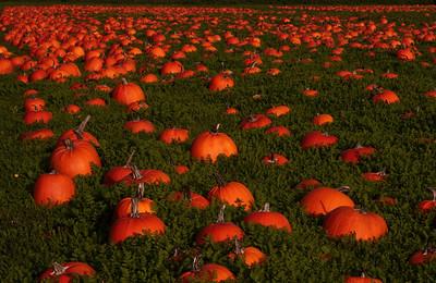 Pumpkin Field in late Fall