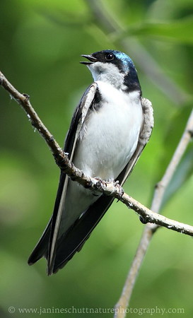 Tree Swallow at Confluence State Park in Wenatchee, Washington.