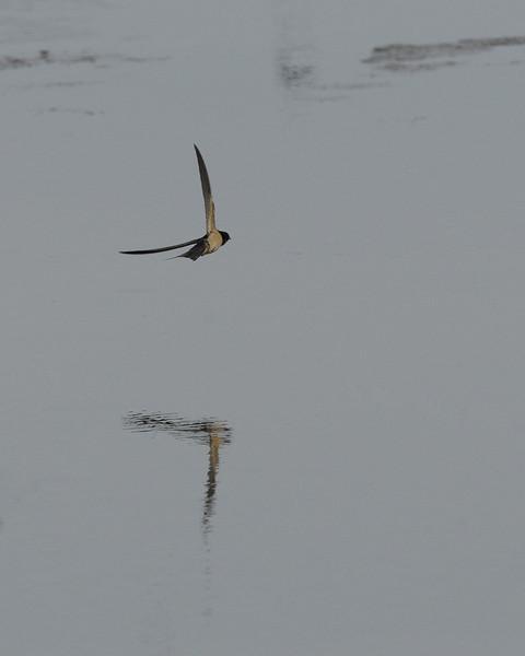 Barn Swallow at Riverlands Migratory Bird Sanctuary. St. Charles County, Missouri. September 2009.