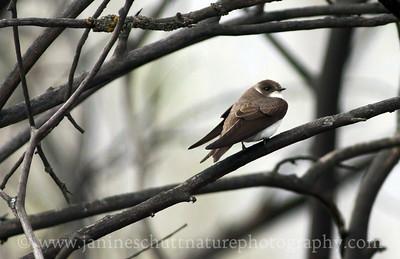 Bank Swallow.  Photo taken by Jameson Lake in Douglas County, Washington.