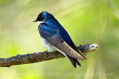 Male Tree Swallow. Photo taken at the Coldwater Lake Recreation Area of the Mt. St. Helens National Volcanic Monument in Washington.