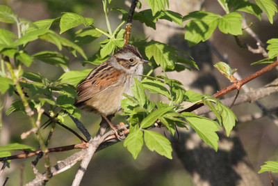 Swamp Sparrow our land in Trempealeau County