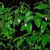 Netleaf Leatherflower (Clematis reticulata)