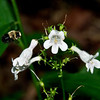 Foxglove Beardtongue (Penstermon digitalis)