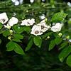 Silky Camellia (Stewartia Malacondendron)