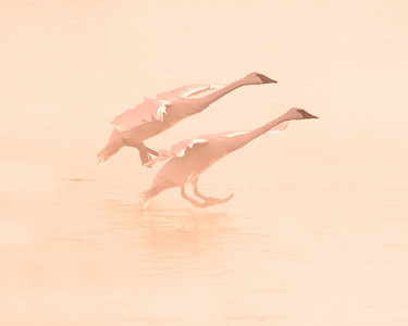 This photograph of Trumpeter Swans during the early foggy morning was captured on the Mississippi River in Monticello, MN (2/09).  This photograph is protected by the U.S. Copyright Laws and shall not to be downloaded or reproduced by any means without the formal written permission of Ken Conger Photography.