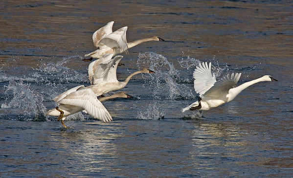 This photograph of taking off Trumpeter Swans was captured on the Mississippi River in Monticello, MN (2/09).  This photograph is protected by the U.S. Copyright Laws and shall not to be downloaded or reproduced by any means without the formal written permission of Ken Conger Photography.