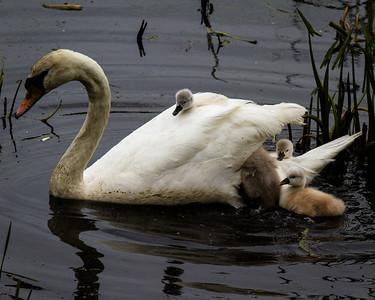 Swans Heard Pond and Jamaica Plain