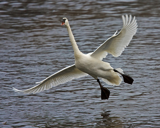 This photograph of a Trumpeter Swan was captured on the Mississippi River in Monticello, MN (2/09).  This photograph is protected by the U.S. Copyright Laws and shall not to be downloaded or reproduced by any means without the formal written permission of Ken Conger Photography.