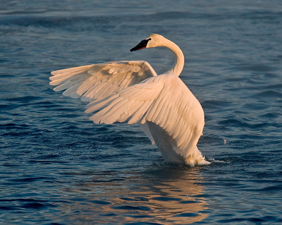 This photograph of a displaying Trumpeter Swan was captured on the Mississippi River in Monticello, MN (2/09).  This photograph is protected by the U.S. Copyright Laws and shall not to be downloaded or reproduced by any means without the formal written permission of Ken Conger Photography.