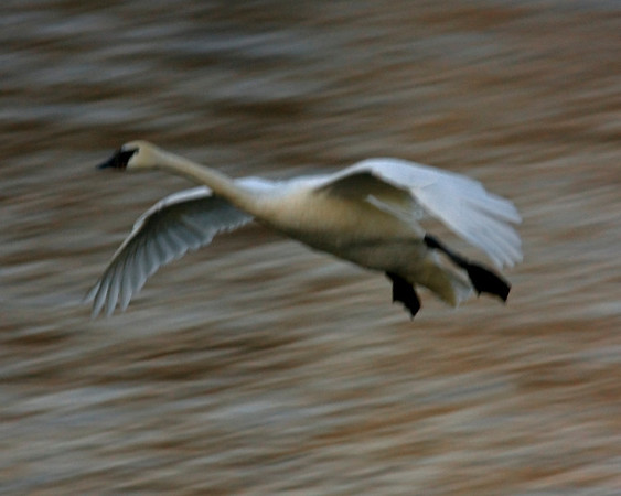 This photograph of a flying Trumpeter Swan was captured predawn on the Mississippi River in Monticello, MN (2/09).  This photograph is protected by the U.S. Copyright Laws and shall not to be downloaded or reproduced by any means without the formal written permission of Ken Conger Photography.