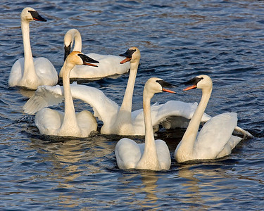 This photograph of yakking Trumpeter Swans was captured on the Mississippi River in Monticello, MN (2/09).  This photograph is protected by the U.S. Copyright Laws and shall not to be downloaded or reproduced by any means without the formal written permission of Ken Conger Photography.