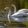 Swans - Jamaica Pond