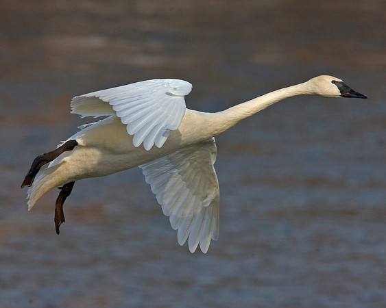 This photograph of a flying Trumpeter Swan was captured on the Mississippi River in Monticello, MN (2/09).  This photograph is protected by the U.S. Copyright Laws and shall not to be downloaded or reproduced by any means without the formal written permission of Ken Conger Photography.