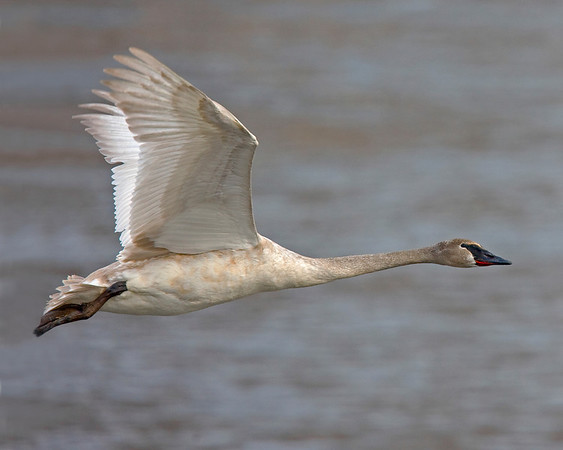 This photograph of a flying immature Trumpeter Swan was captured on the Mississippi River in Monticello, MN (2/09).  This photograph is protected by the U.S. Copyright Laws and shall not to be downloaded or reproduced by any means without the formal written permission of Ken Conger Photography.