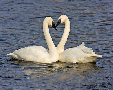 This photograph showing Trumpeter Swan mating behavior was captured on the Mississippi River in Monticello, MN.  I was hoping for a tad better heart shape but this was the best of the series  (2/09).  This photograph is protected by the U.S. Copyright Laws and shall not to be downloaded or reproduced by any means without the formal written permission of Ken Conger Photography.