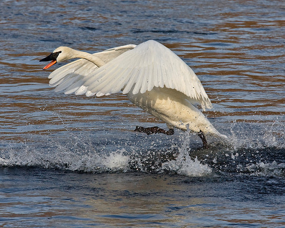 This photograph of a running Trumpeter Swan was captured on the Mississippi River in Monticello, MN (2/09).  This photograph is protected by the U.S. Copyright Laws and shall not to be downloaded or reproduced by any means without the formal written permission of Ken Conger Photography.
