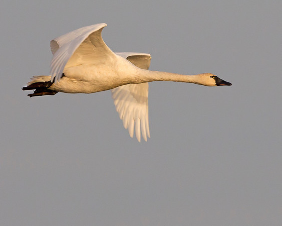 This photograph of a flying Tundra Swan was captured at Chincoteague National Wildlife Refuge, VA (11/11).  This photograph is protected by the U.S. Copyright Laws and shall not to be downloaded or reproduced by any means without the formal written permission of Ken Conger Photography.