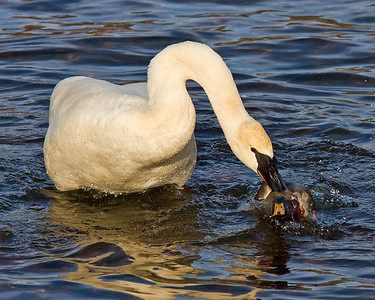 This photograph of Trumpeter Swans attacking a male mallard was captured on the Mississippi River in Monticello, MN.  (2/09).  This photograph is protected by the U.S. Copyright Laws and shall not to be downloaded or reproduced by any means without the formal written permission of Ken Conger Photography.