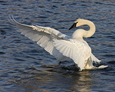 This photograph of a displaying Trumpeter Swan was captured on the Mississippi River in Monticello, MN (2/09).  You can view a wonderful pencil rendition of this photo at  Kelli Swan's Cygnet Graphics This photograph is protected by the U.S. Copyright Laws and shall not to be downloaded or reproduced by any means without the formal written permission of Ken Conger Photography.
