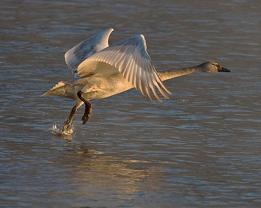 This photograph of a immature Trumpeter Swan was captured on the Mississippi River in Monticello, MN (2/09).  This photograph is protected by the U.S. Copyright Laws and shall not to be downloaded or reproduced by any means without the formal written permission of Ken Conger Photography.