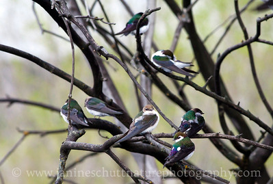 Violet-green Swallows resting in between foraging flights.  Photo taken by Jameson Lake in Douglas County, Washington.